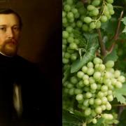 A Csabagyöngye szőlő és Stark Adolf szellemi munkássága